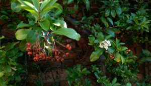 the pyracantha showing signs of flourishing again