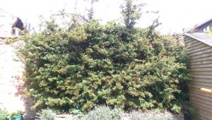 the overgrown pyracantha